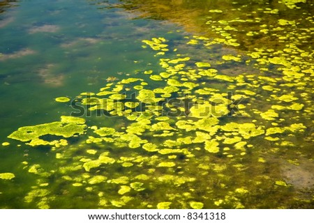 Green algae growing on the water's surface.