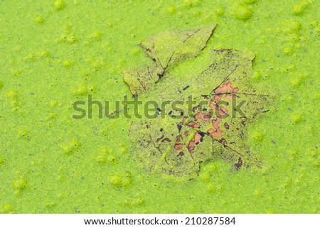 Green algae takes over a local  pond. - stock photo