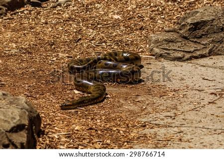 Green anaconda - stock photo
