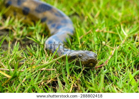 Green anaconda (Eunectes murinus). Las Pampas de Yacuma National Park, Amazon, Bolivia - stock photo