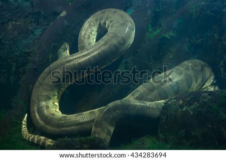 Green anaconda (Eunectes murinus). Wildlife animal.  - stock photo