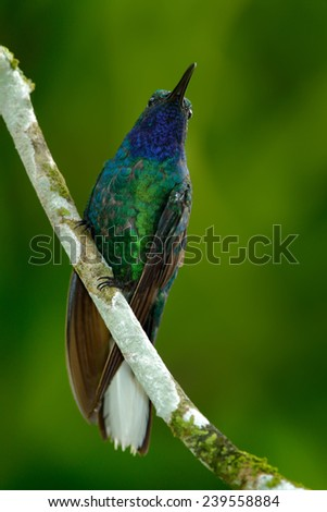 Green and Blue Hummingbird Sabrewing from Tobago sitting on the branch - stock photo