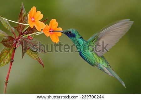 Green and blue hummingbird Sparkling Violetear  flying next to beautiful yelow flower - stock photo