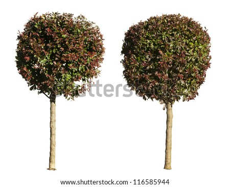 Green and dark purple trees isolated on white. Decorative tree - stock photo