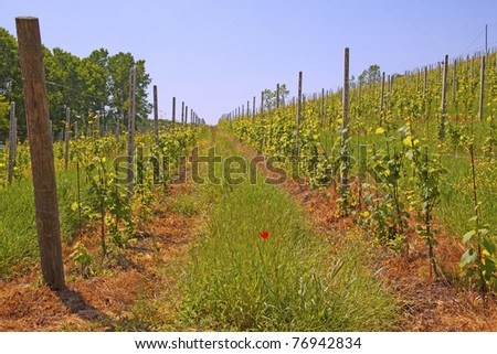 Green and gorgeous vineyard with blue sky on the back - stock photo