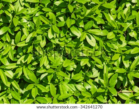 green and lush leaves texture - stock photo