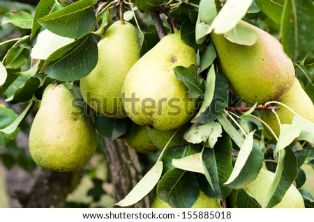 Green and organic pears on the tree - stock photo