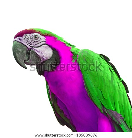 green pink macaw parrot closeup white stock photo edit now