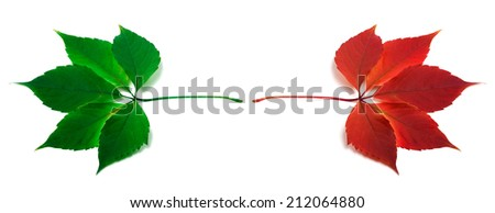 Green and red autumn virginia creeper leafs. Isolated on white background - stock photo