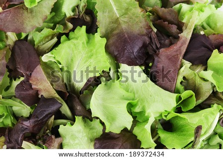 Green and red leaf of lettuce close up. Whole background. - stock photo