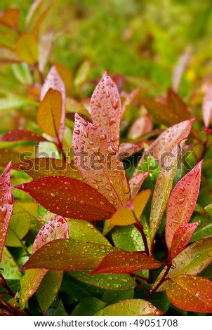 """Green and red leaves of evergreen plant (Photinia fraseri """"Red Robin"""") after rain - stock photo"""
