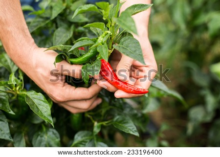 Green and red organic pepper with farmer hand in orchard. - stock photo