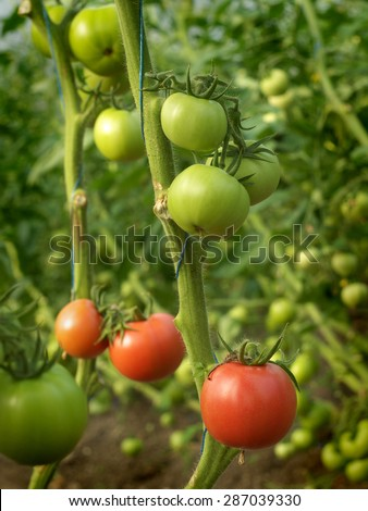 green and red tomatoes growing inside a hothouse - stock photo