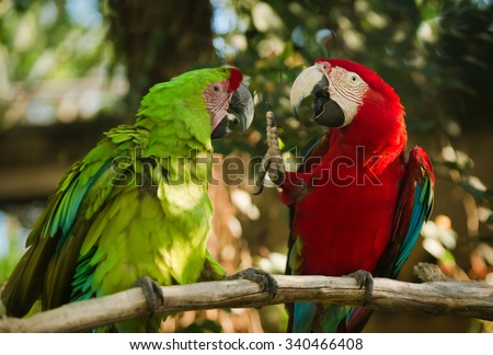green and red winged macaws sitting on branch - stock photo
