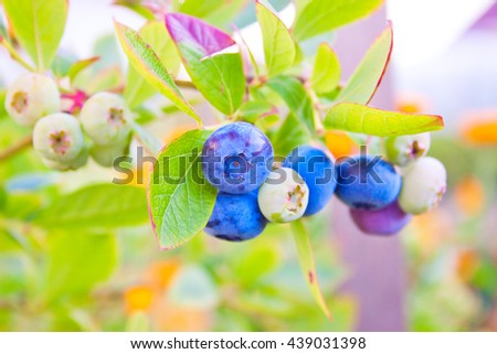 green and ripe blueberries in the garden - stock photo