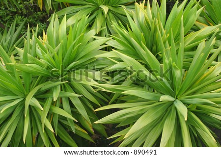 Green and spiky plants of the cordyline family