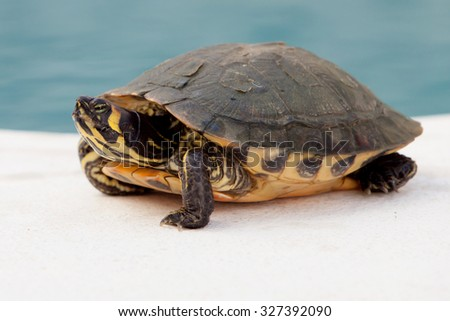 Green and yellow common turtle located near water - stock photo