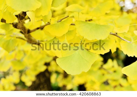 Green and yellow fall leaves of Ginkgo Biloba autumn colors (selective focus)