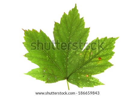 green and yellow maple leaf isolated on white