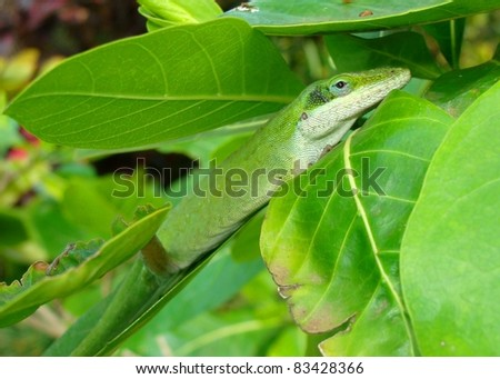 Green Anole, Anolis carolensis hiding in leaves - stock photo