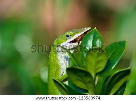 Green Anole lizard eating an insect in the garden - stock photo