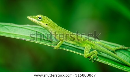 Green Anole Lizard  relaxing.