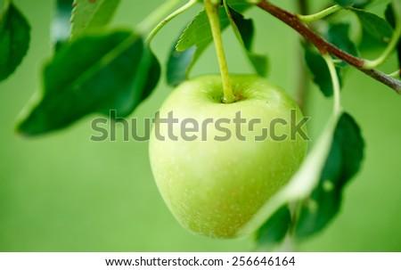Green apple. - stock photo