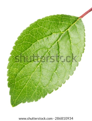Green apple leaf isolated on white