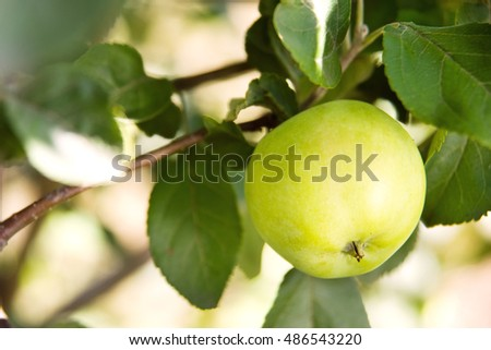 Green apple on a branch. An apple in the garden. Apple growing on a branch in the garden