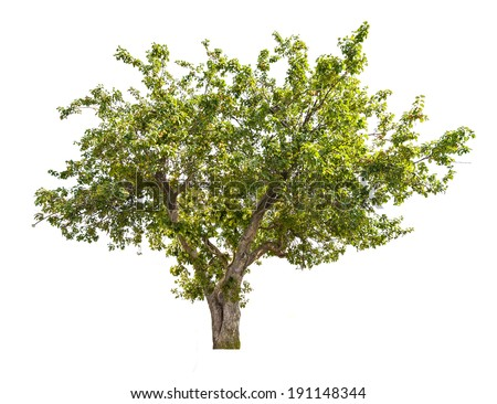 green apple tree with small fruits isolated on white background - stock photo