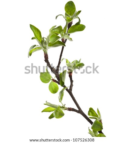 Green apple twig  Isolated on white background - stock photo