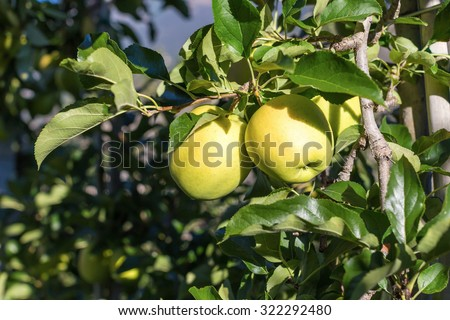 Green apples (Golden Delicious) on branch