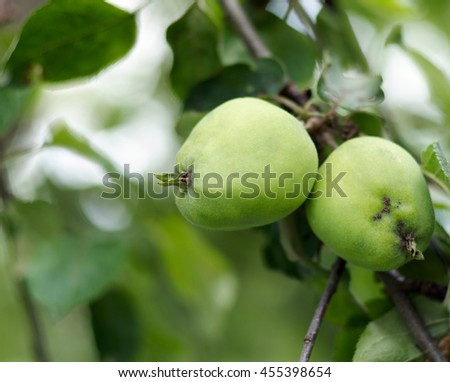 Green apples grow on apple tree branch with leaves under sunlight close-up. Ripe apples on the tree in nature/Apple growing on tree in garden.Apples on a branch - stock photo