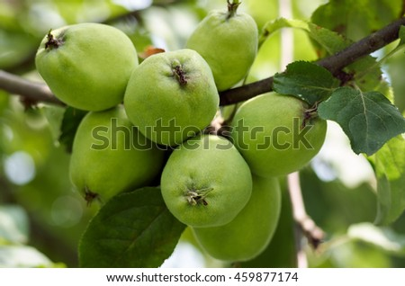Green apples grow on apple tree branch with leaves under sunlight closeup. Ripe apples on the tree in nature/Apples growing on tree in garden.Apples on a branch - stock photo
