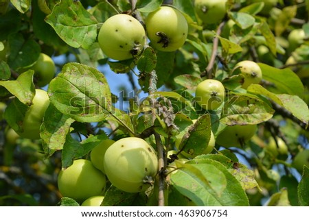 green apples on a background of blue sky