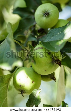 Green apples on a branch clous up. Background