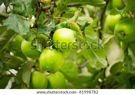 green apples on apple-tree branch - stock photo