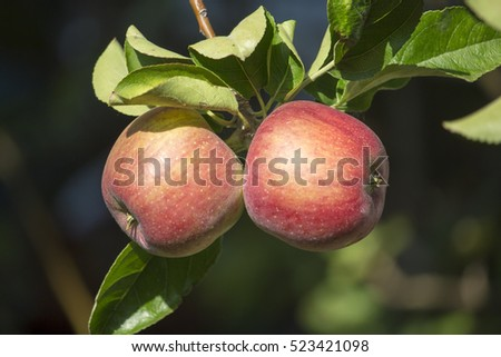 the pomaceous fruit of the apple