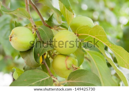 green apples ripen on the branch of tree in a garden