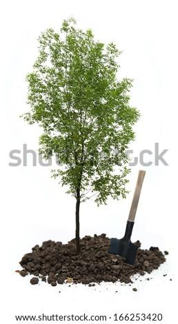 Green ash tree with a shovel - stock photo