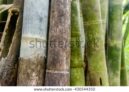 Green Asian Bamboo forest, abstract background with shallow depth of field - stock photo