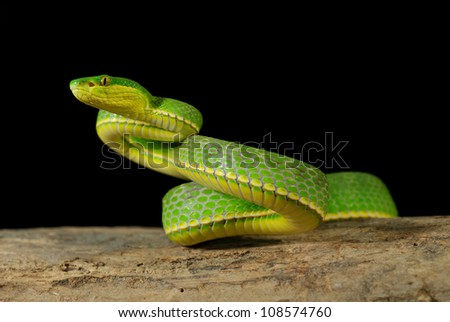 Green asian pit viper - stock photo
