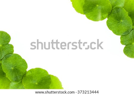 Green Asiatic Pennywort (Centella asiatica ) on white background - stock photo