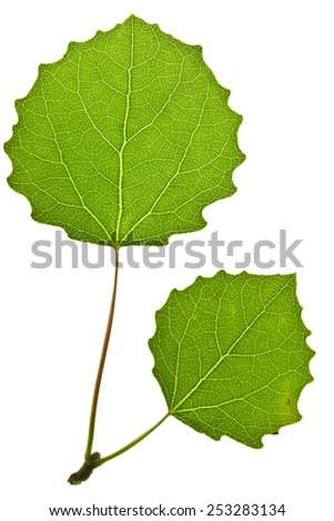 Green aspen leaf isolated on white - stock photo