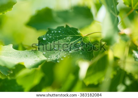 Green aspen leaves background with water drops with very shallow depth of field - stock photo