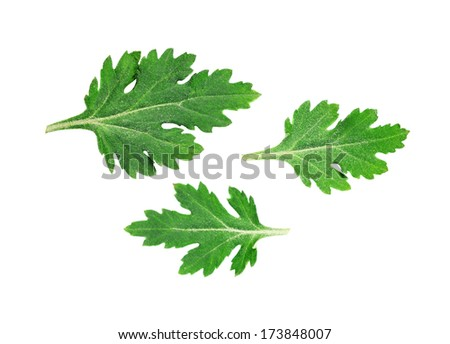 Green aster leaves isolated on white