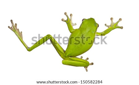 Green Australian tree frogs are docile and well suited to living near human dwellings. They are often found on windows or inside houses, eating insects drawn by the light. - stock photo