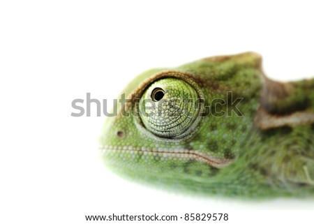 Green baby chameleon isolated on white background, focused on eyes with very narrow focus