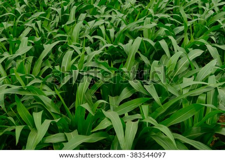 Green baby corn field