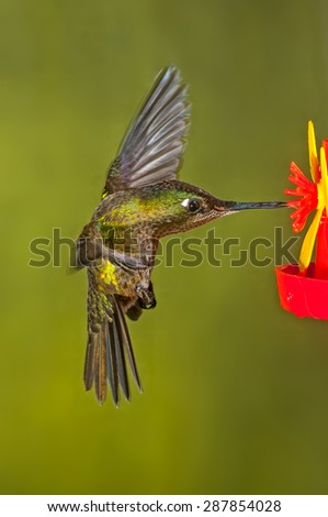 Green-backed firecrown (Sephanoides sephaniodes) in flight feeding on nectar from feeder. Patagonia, Argentina, South America.